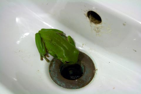 The green frog which had taken up residence in the sink - photo © Liz Potter