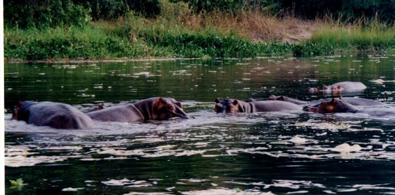 Hippos - photo © Liz Potter