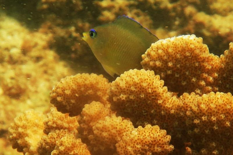 These damselfish are often found guarding cauliflower-like coral heads. They dart in and out and chase away other fishes that come close — it's fun to watch. We can distinguish these fish by their bright blue eyes. - photo © NOAA Fisheries / Raymond Boland