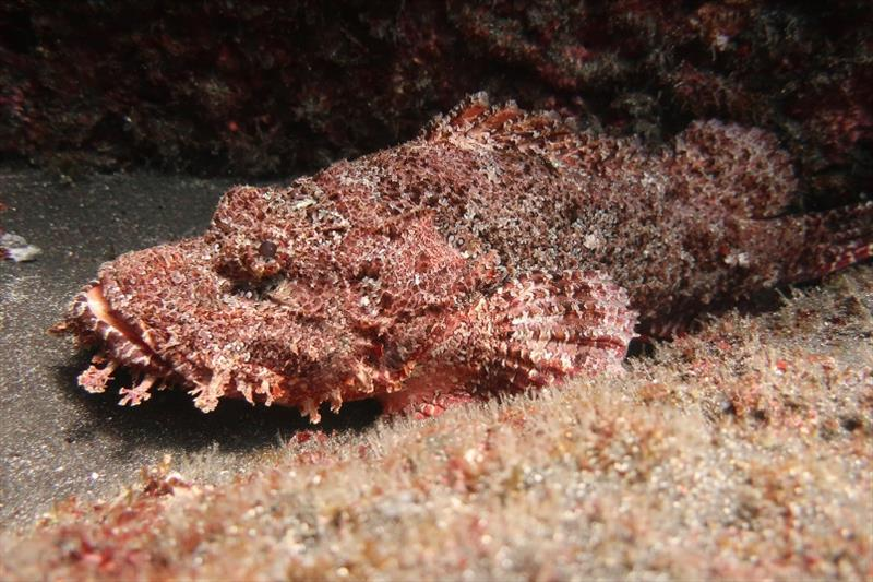 Titan scorpionfish - a master of disguise. This predator lies in wait of unsuspecting prey, and is an important component of the coral reef ecosystem. Its coloration and appendages blend in with algae around it, and sucks the prey into its large mouth! - photo © NOAA Fisheries / Taylor Williams