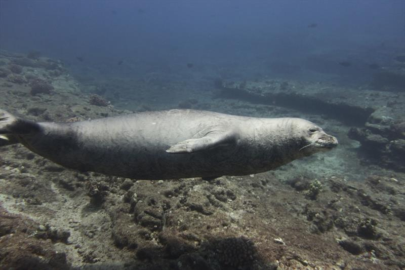 This large, male Hawaiian monk seal came up close to greet our divers as they started coral surveys on underwater slopes of Lehua Crater. Over the course of our 2 days at Ni'ihau, we spotted over 15 monk seals along the beaches of this `Forbidden Isle.` - photo © NOAA Fisheries / Mollie Asbury