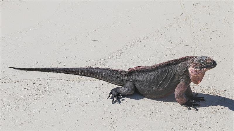 Iguana on the beach in Exuma - photo © Sunsail